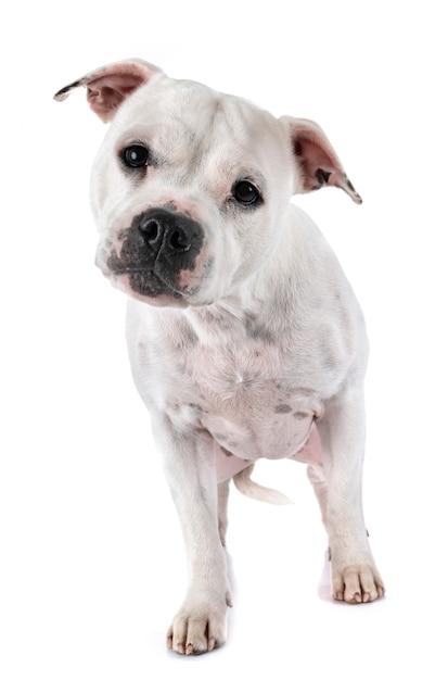 Staffordshire bull terrier Premium Fotos