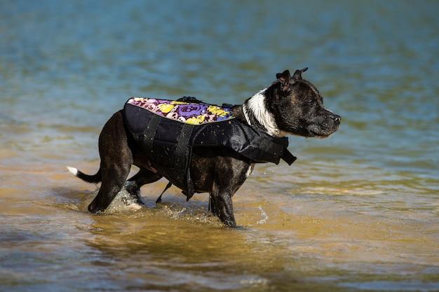 Staffordshire bullterrier tauchen Premium Fotos