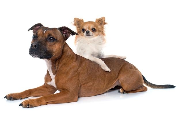 Stafforshire bullterrier und chihuahua Premium Fotos
