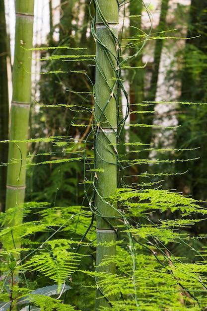 Mehrzahl Von Bambus