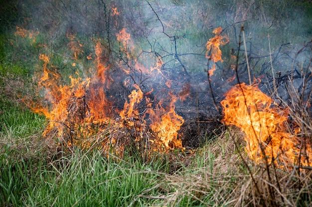 Starker rauch vom feuer. schilffelder, trockenes gras reinigen Premium Fotos