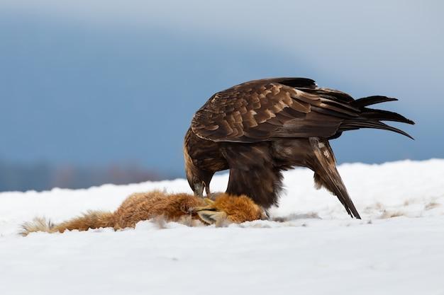 Steinadler, aquila chrysaetos, fressende beute auf schnee in der winternatur. wildvogelfütterung mit totem fuchs Premium Fotos