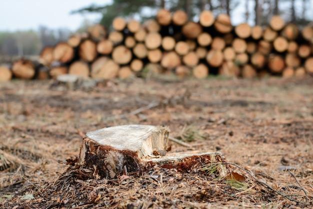 Stempel der kiefer nahe staplungsstämmen im wald. anmeldung im kiefernwald. Premium Fotos