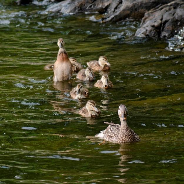 Stockenten (anas platyrhynchos) in einem see, see des holzes, ontario, kanada Premium Fotos