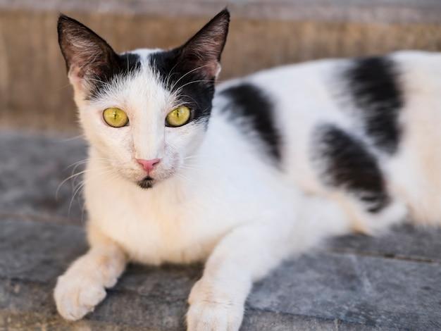 Straßenschwarzweiss-katze mit den gelben augen, welche die kamera betrachten Premium Fotos