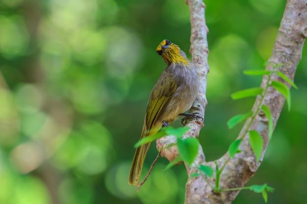 Streifen-throated bulbul bird, stehend auf einer niederlassung in der natur Premium Fotos