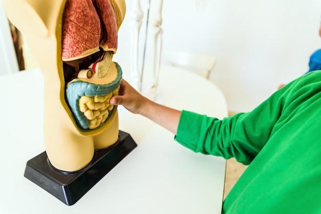 Studenten im anatomie- und humanbiologieunterricht mit einem künstlichen modell des menschlichen körpers mit organen. Premium Fotos