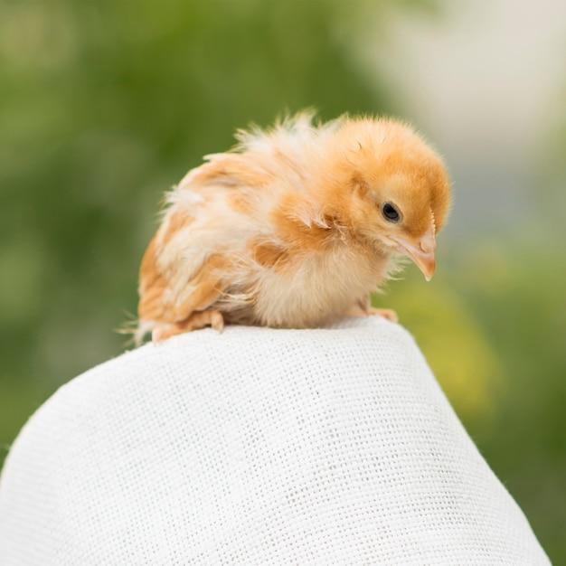 Süße küken auf einem hühnerstall Kostenlose Fotos