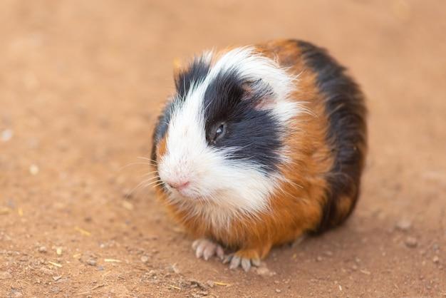 Süße meerschweinchen, cavia porcellus. Premium Fotos