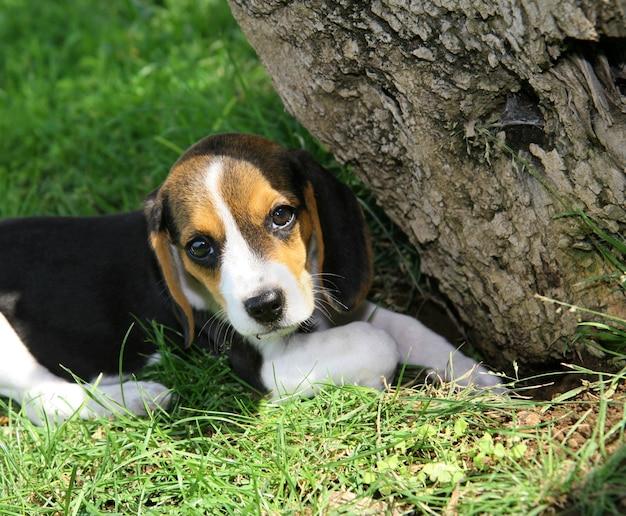 Süßer beagle welpe Premium Fotos