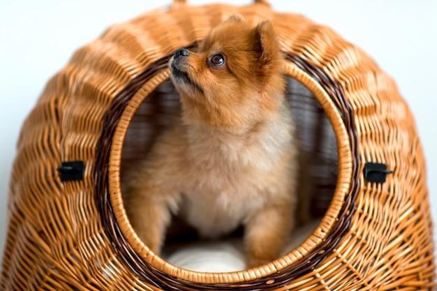 Süßer welpe mit der netten mündung und unschuldigen augen, die aus weidenhundehütte heraus schauen Premium Fotos