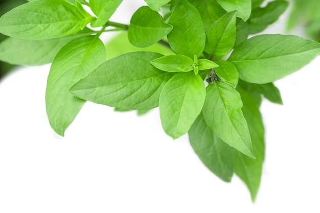 Süßes basilikum-kraut, das in einem organischen garten wächst. thai basilikumblatt (ocimum basilicum) Premium Fotos
