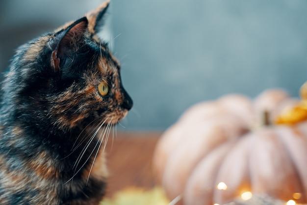 Süßes kätzchen und kürbis Premium Fotos