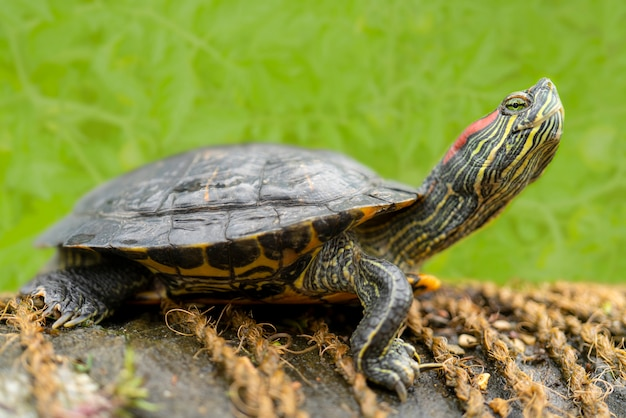 Süßwasserschildkröten am ufer in der nähe des wassers Premium Fotos