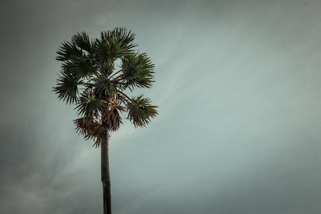 Sugar palm bäume am himmel hintergrund Premium Fotos