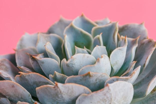 Sukkulente pflanzen. flach liegen. Premium Fotos