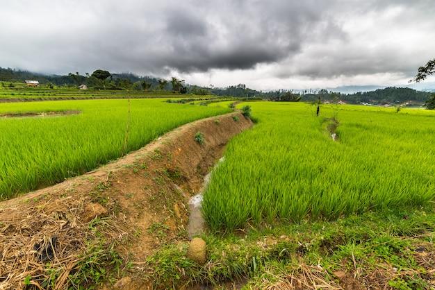 Sulawesi reisfelder Premium Fotos