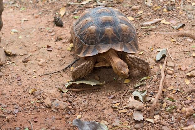 Sulcata-schildkröte, afrikanische spornschildkröte (geochelone sulcata) Premium Fotos