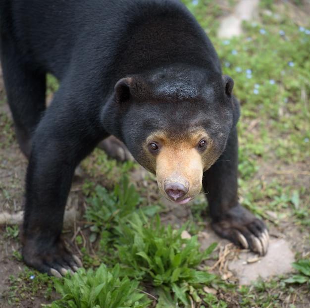 Sun-bärennahaufnahmeporträt Premium Fotos