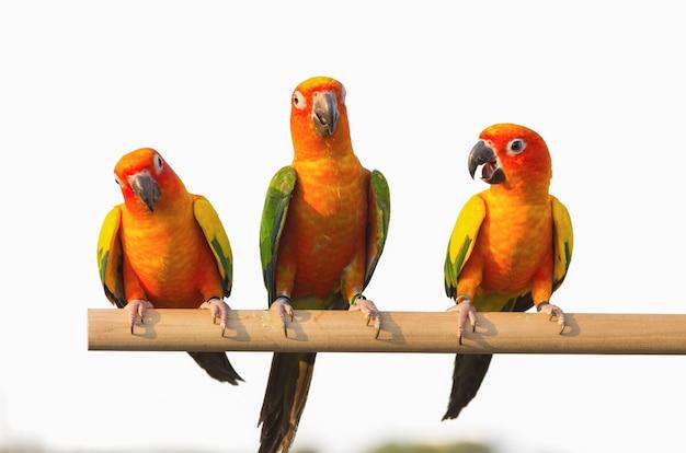 Sun conure papagei Premium Fotos