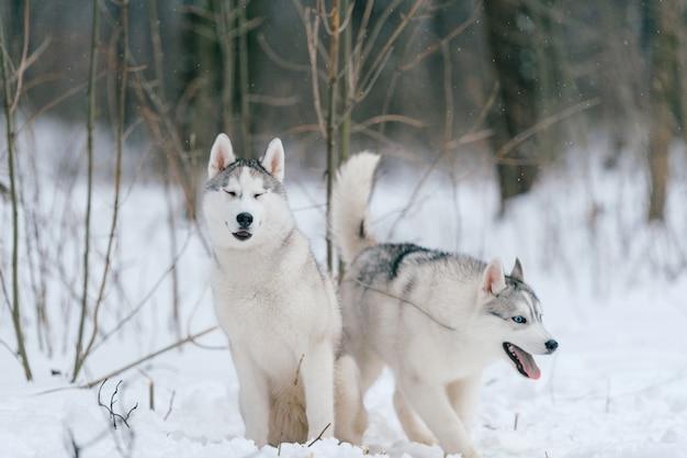 Syberian husky paar im winter Premium Fotos