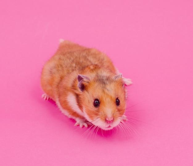 Syrischer hamster auf einem rosa Premium Fotos