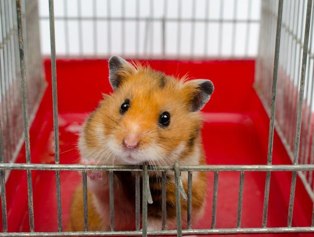 Syrischer hamster, der aus einem käfig heraus schaut Premium Fotos