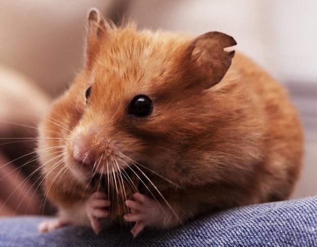 Syrischer hamster sitzt auf den knien und knabbert an der nuss Premium Fotos