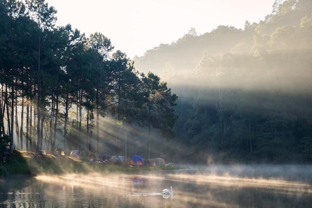 Szenisches kiefernwaldsonnenlicht glänzen mit schwan auf nebelreservoir am morgen am stechenden oung Premium Fotos