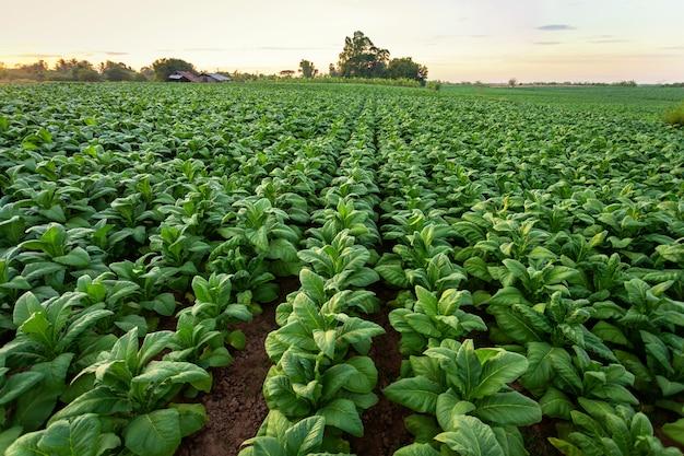 Tabakfeld, große blattfrüchte des tabaks, die auf dem tabakplantagengebiet wachsen. Premium Fotos