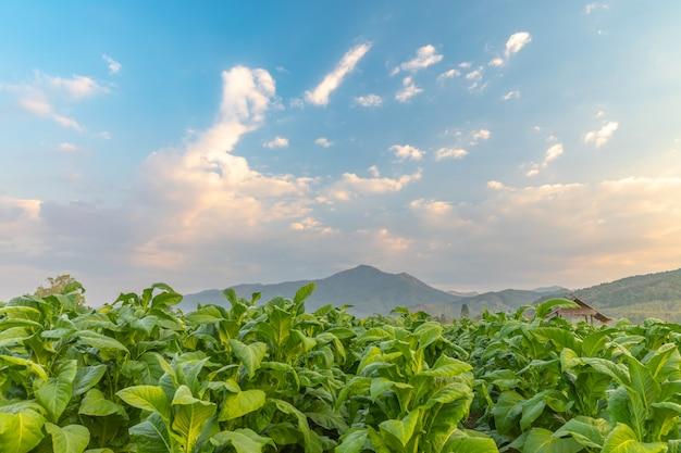 Tabakfeld und hütte mit schönem gebirgshügelhintergrund, landwirtschaft in der landschaft Premium Fotos