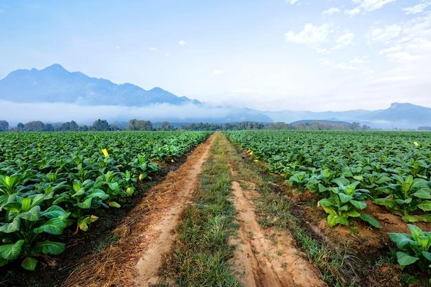 Tabakplantage in ackerland grün und für gemachte zigarre und zigarette. Premium Fotos