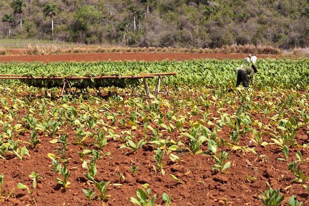 Tabakplantage Premium Fotos
