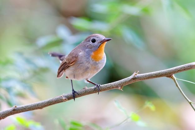 Taiga flycatcher ficedula parva schöne männliche vögel von thailand Premium Fotos