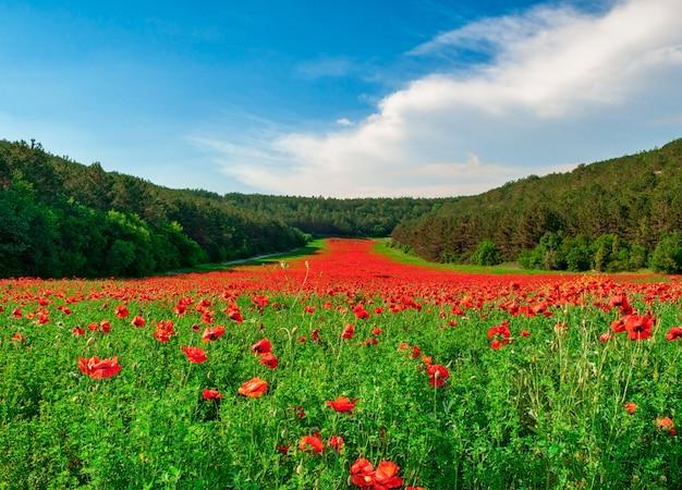 Tal mit vielen blühenden roten mohnblumen Premium Fotos
