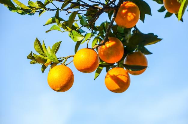 Tangerinebaum in einem botanischen garten. batumi, georgia. Premium Fotos