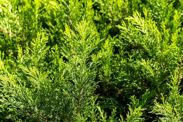 Tannenbaumzweighintergrund auf der straße. Premium Fotos