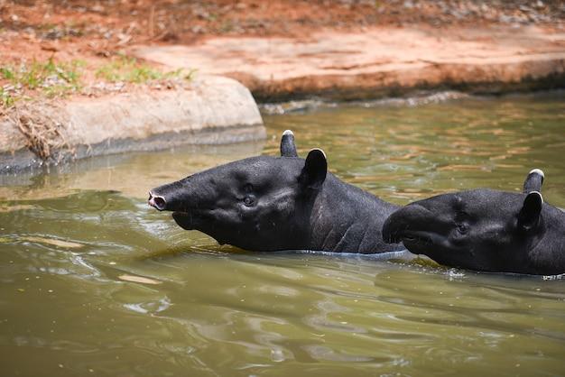 Tapir, der auf dem wasser im naturschutzgebiet tapirus terrestris - malaiischer tapirus indicus schwimmt Premium Fotos