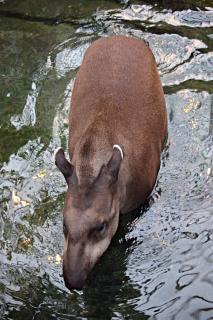 Tapirs laufen im wasser Kostenlose Fotos