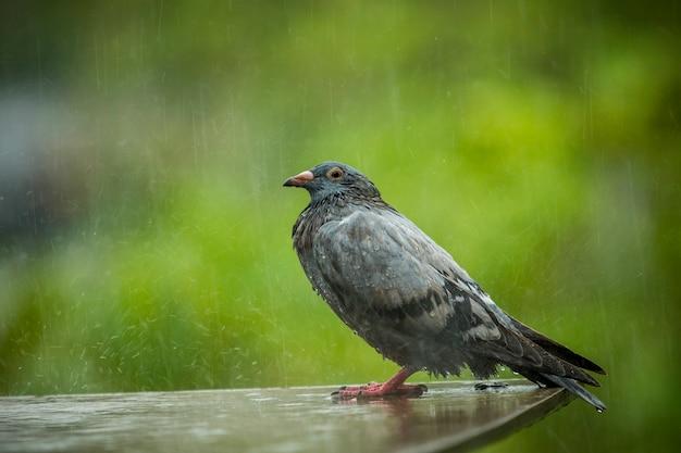 Taube stehend, während harte raing gegen grünen hintergrund fällt Premium Fotos