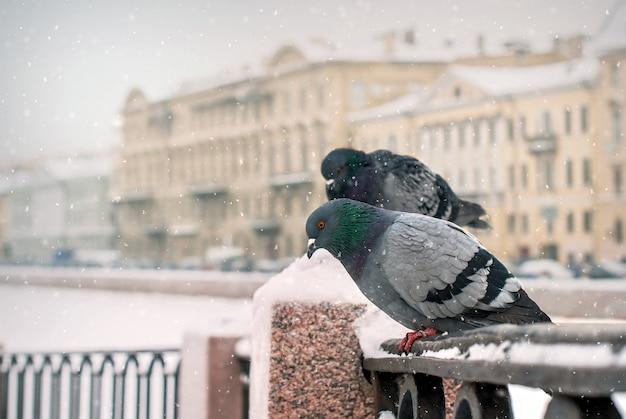 Tauben sitzen auf dem böschungszaun im winter während eines schneefalls auf dem hintergrund der alten stadt. Premium Fotos