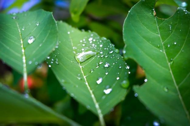 Tautropfen am morgen auf blatt, in der regenzeit zum pflanzenwachstum erfrischend. Premium Fotos