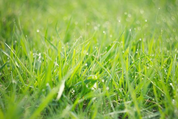 Tautropfen auf jungem grünem gras. frisches grünes frühlingsgras mit tautropfennahaufnahme. Premium Fotos
