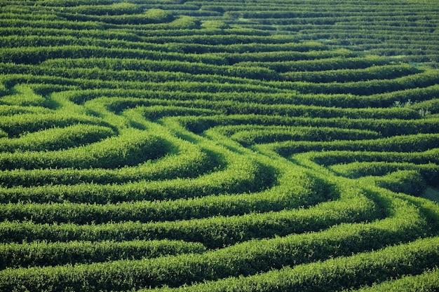 Tee plantage Premium Fotos