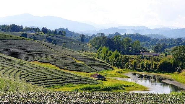 Teeplantage choui fong die schönste teeplantage in thailand Premium Fotos