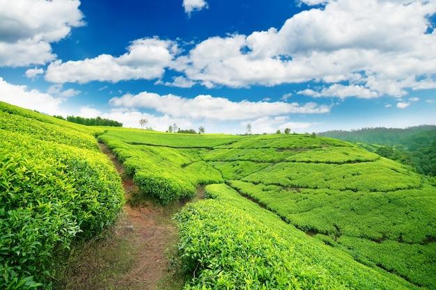 Teeplantage im hochland von sri lanka Premium Fotos