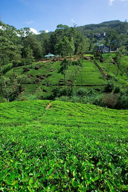 Teeplantage in den bergen Premium Fotos