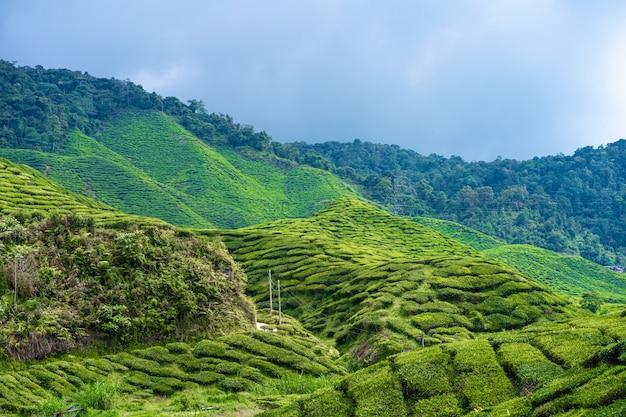 Teeplantagen cameron valley. grüne hügel im hochland von malaysia. teeproduktion. grüne büsche jungen tees. Premium Fotos