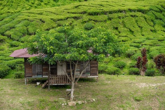Teeplantagen cameron valley. grüne hügel im hochland von malaysia. Premium Fotos