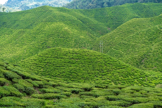 Teeplantagen cameron valley. grüne hügel im hochland von malaysia Premium Fotos